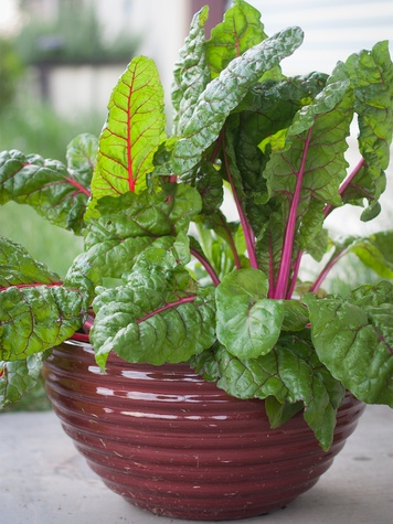 swiss chard in a container