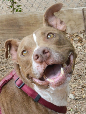 Picture this Pet - Austin Pets Alive - Choco 3 - May 2015