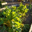 Photo of tattered Swiss chard