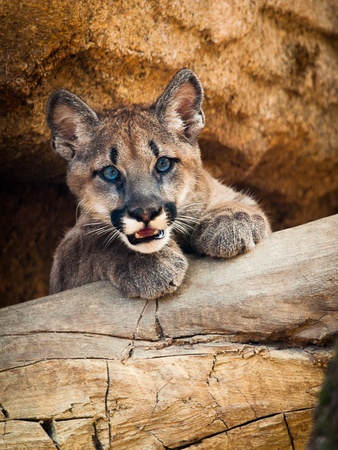 News_University of Houston_cougar cub_Houston Zoo_Shasta