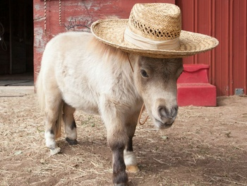 American Airlines' new policy on animals allows miniature horses