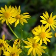 Photo of cut-leaf groundsel