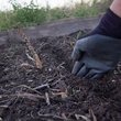 Photo of hand digging furrow