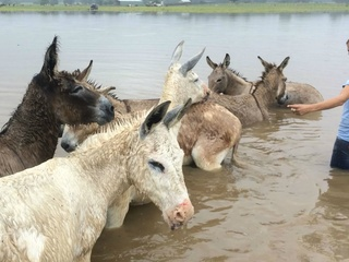 Donkeys in the flood at Cleveland Amory Black Beauty Ranch