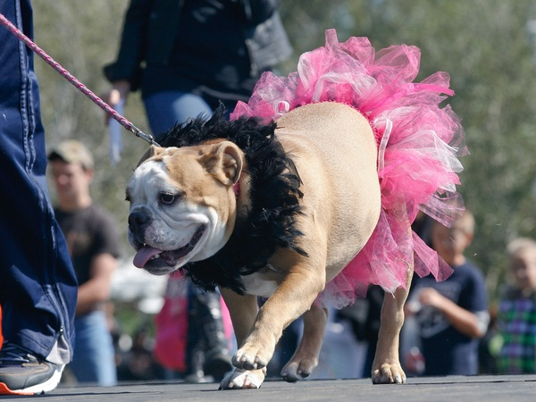 This ballerina beauty was one of dozens of contestants in the pooch fashion show and costume contest held during Bridgeland's Howl-O-Ween Fest Saturday
