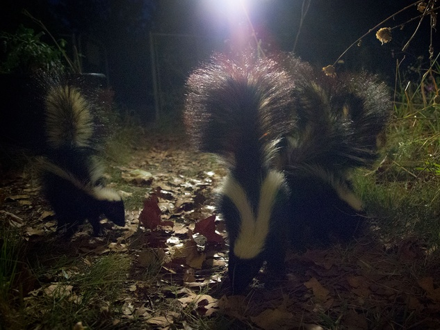 Young skunks feed on beetles among leaves