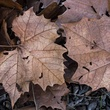 Photo of fallen sycamore tree leaves