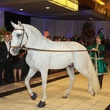 237 Arabian horse at the Houston Ballet/Carnan Properties party