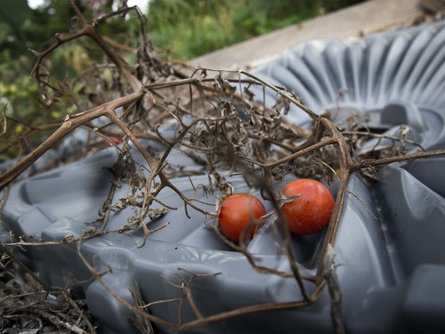 Photo of silted tomato plants