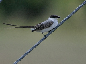 Austin Photo: News_kevin_TPWD_rare bird_December 2012_fork-tailed flycatcher