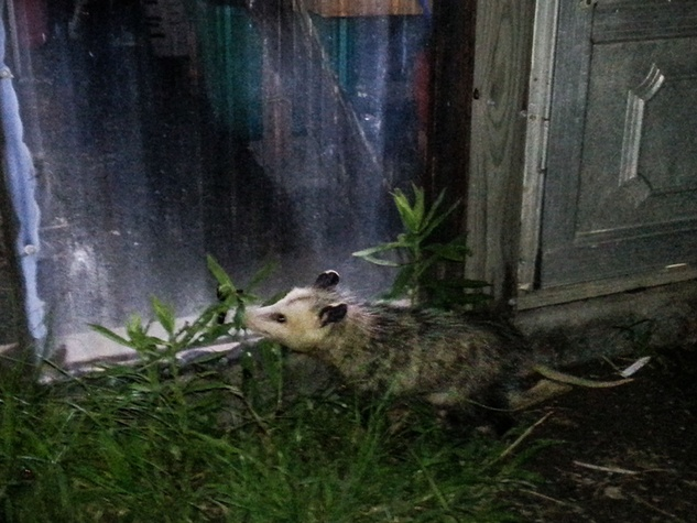 Photo of opossum eating bugs at night