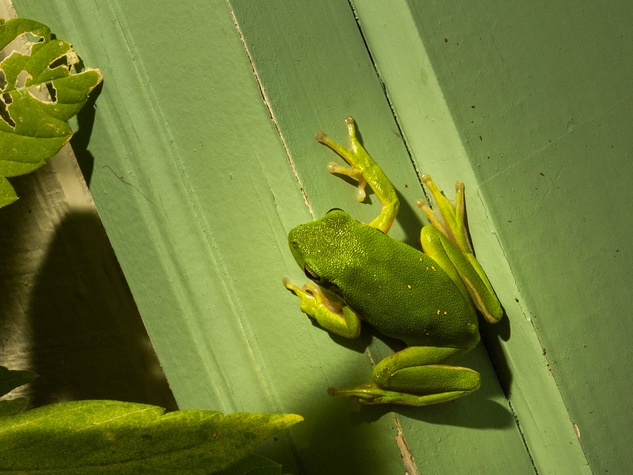 Photo of a tree frog