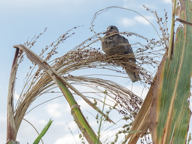 Bird alights on sorghum
