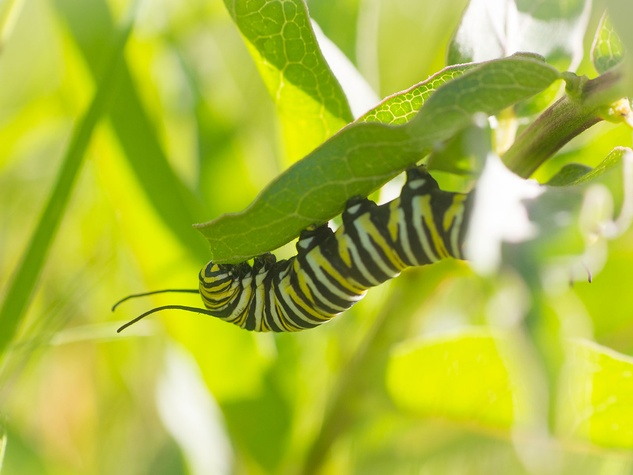 photo of monarch butterfly caterpillar