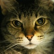 headshot of Helena the cat APA! pet of the week