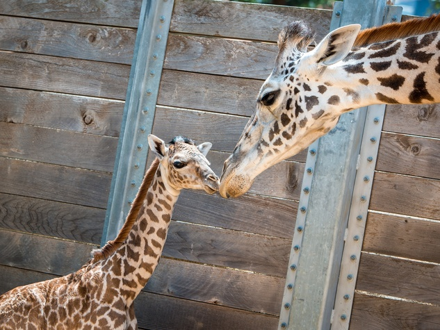 2 baby giraffe at Houston Zoo August 2014