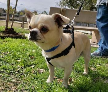 Meet Bo the perky Pekingese-Chihuahua, CultureMap's pet of the week
