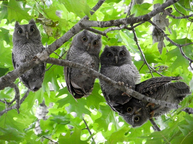 Annie Kansas Owlets in tree at Roberts Elementary School