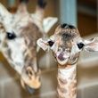 6 Houston Zoo Masai giraffe born to Tyra February 2014