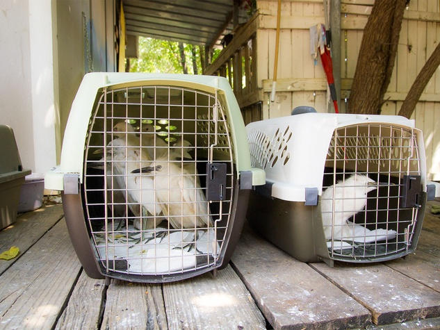 Photo of egrets in pet carriers