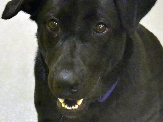 Lacy, Pet of the Week, SPCA of Texas