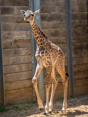 1 baby giraffe at Houston Zoo August 2014