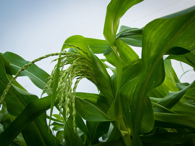 Photo of corn stalk with tassles