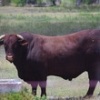 News_King Ranch_Santa Gertrudis Bull