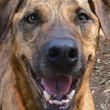 closer headshot of Apache Austin Pets alive! pet of the week dog