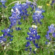 News_Ruthie_Brenham and Bluebonnets_Bluebonnets