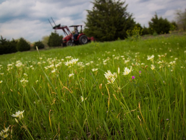 Photo of false garlic flowers with tractor in the background