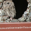 7. Eastern Screech Owl - Education Ambassador Katie Oxford Wildlife Center of Texas December 2014