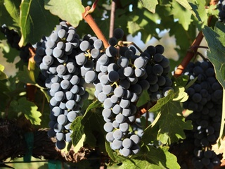 Wine Grapes at Frank Family Vineyards