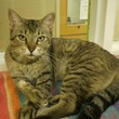 Helena the cat sitting down APA! pet of the week