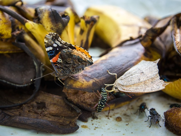 Photo of red admiral butterfly and leafwing