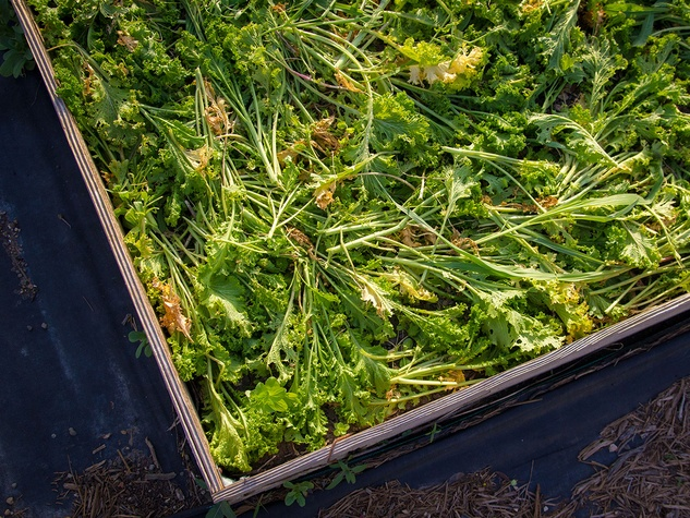 Photo of cut mustard greens