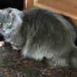 Junior the russian blue cat from behind APA! pet of the week