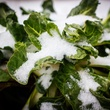 Photo of snow covered Swiss chard