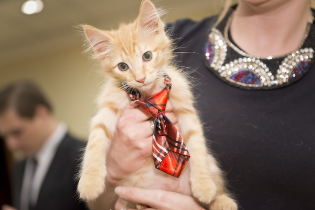 Houston, Shelby, SPCA Gala, April 2015, Kitten dressed to party