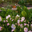 Picture of evening primrose in bed of Swiss chard