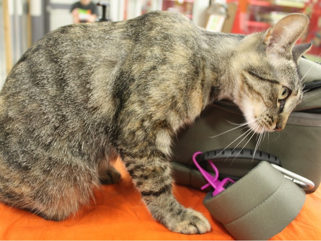 Jingles the cat APA! pet of the week rubbing against bag