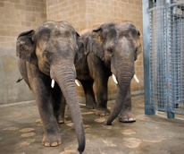 Houston Zoo's Male Elephants Move Into New Barn