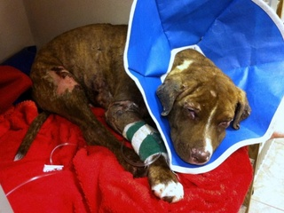 Justice, burned puppy, animal cruelty