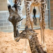 7 Houston Zoo Masai giraffe born to Tyra February 2014