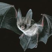 Austin Photo: News_kevin_TPWD_Big-eared bat_September 2012_flying