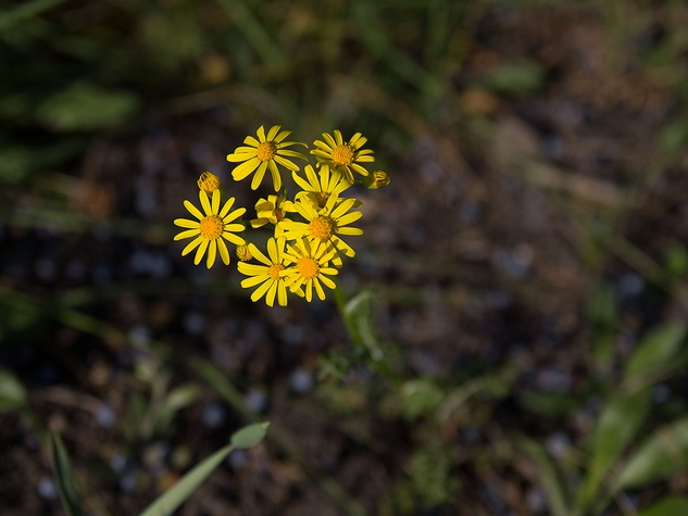 Photo of wild asters