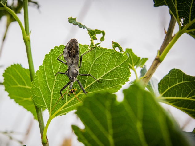 Photo of assassin bug eating cucumber beetle.