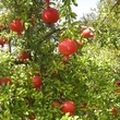 pomegrante tree with fruit