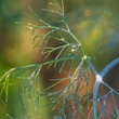 Photo of swallowtail butterfly egg on dill