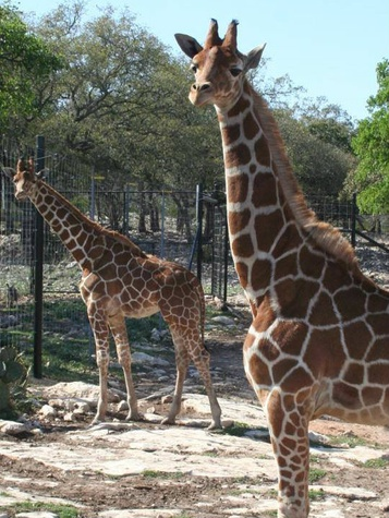 Giraffe twins Wasswa and Nakato at Natural Bridge Wildlife Ranch on first birthday